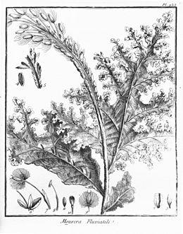 Mourera fluviatilis