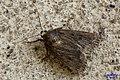 Mouse moth (NH266) (15849818628).jpg