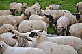 Moutons Saint-Paul.jpg