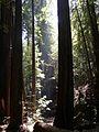 Muir Woods National Monument - Coast Redwood (Sequoia sempervirens) - Flickr - Jay Sturner (2).jpg