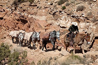 Kaibab National Forest - Pack mule train along the South Kaibab Trail in the Grand Canyon, carrying camping supplies following the riders on day 2 outbound of a tourist excursion, on 31 March 2009, 13:51 hrs.