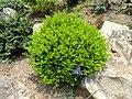 Murraya paniculata - Kunming Botanical Garden - DSC03031.JPG