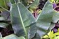 Musa acuminata 3zz.jpg