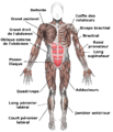Muscles anterior labeled fr.png