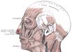 Musculusdilatatornarisanterior.png