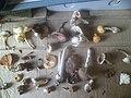 Mushrooms of Nepal( May Month).jpg