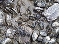 Mussels exposed at low tide - geograph.org.uk - 1238053.jpg