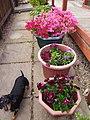 My Miniature Dachshund in the garden, 2010 (50421722487).jpg