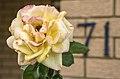 My Peace Rose-1 (31413947843).jpg