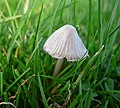 Mycena leptocephala - Flickr - gailhampshire (2).jpg