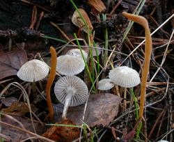 Mycena vulgaris.png