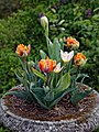 Myddelton House, Enfield, London ~ lake terrace tulip planter 01.jpg