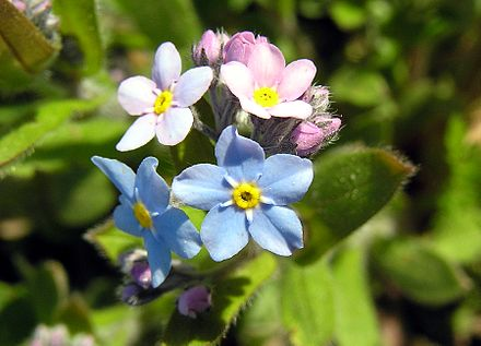 The Forget-me-not is the official flower for Grandparent's Day.