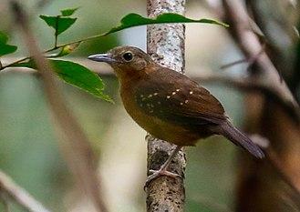 Humaita antbird - female at Careiro, Amazonas state, Brazil