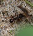 Myrmica rubra - Flickr - S. Rae.jpg
