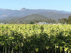 Ovens River - Image: Myrtleford Vic 20050421g Tobacco Crop