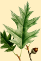 NAS-026g Quercus rubra.png