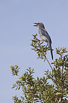 NASA Kennedy Wildlife - Florida Scrub Jay (14).jpg