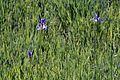 NSG-00576.01 Riedholz und Grettstädter Wiesen, Iris sibirica 20170527 028.jpg