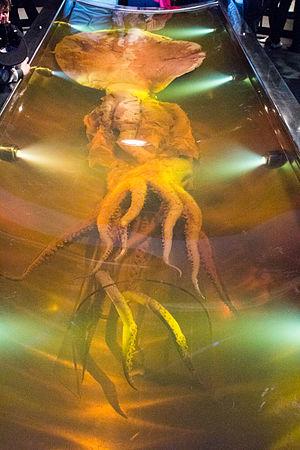 mesonychoteuthis hamiltoni wikipedia