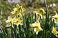 Narcissus tazetta ENBLA05.jpg