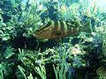 Nassau Grouper.jpg