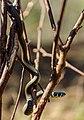 Nastik - Grass snake - Natrix natrix (8).jpg