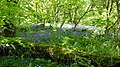 Native Bluebells , Dundonald, South Ayrshire, Scotland.jpg