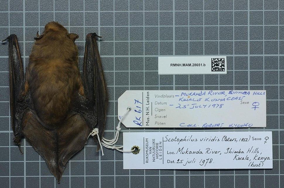 Naturalis Biodiversity Center - RMNH.MAM.28651.b dor - Scotophilus viridis - skin.jpeg