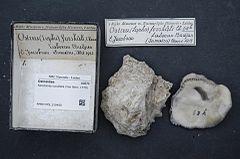 240px naturalis biodiversity center   rmnh.mol.319450   saccostrea cucullata (von born, 1778)   ostreidae   mollusc shell