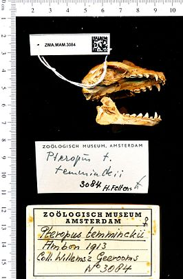 Naturalis Biodiversity Center - ZMA.MAM.3084 lat - Pteropus temminckii temminckii Peters - WholeOrganism.jpeg