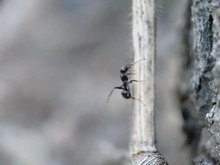 File:Neoneurus vesculus ovipositing in workers of the ant Formica cunicularia.ogv