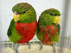 Neopsittacus musschenbroekii -two captive-8a.jpg