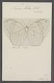 Neorina - Print - Iconographia Zoologica - Special Collections University of Amsterdam - UBAINV0274 049 03 0016.tif