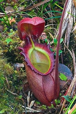 Nepenthes rajah ASR 062007 tambu borneo