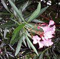 Nerim oleander 2.jpg