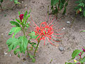 Nerine curvifolia Guernsey Lily ნერინე.jpg
