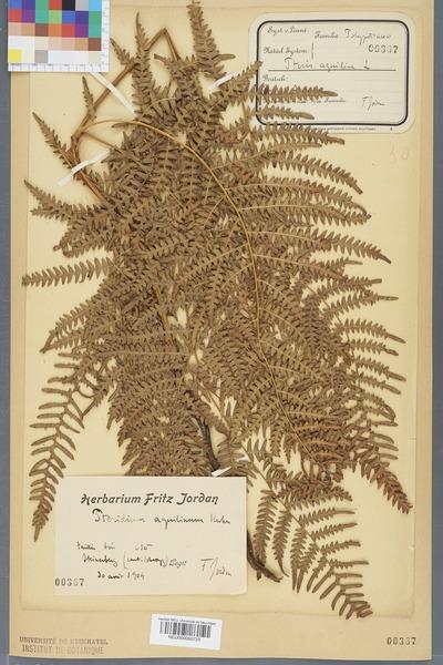 File:Neuchâtel Herbarium - Pteridium aquilinum - NEU000000725.tiff