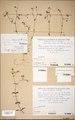 Neuchatel Herbarium Types NEU000113067.tif