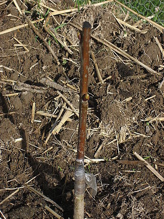 Grafting - Tape has been used to bind the rootstock and scion at the graft and tar of the scion from desiccation.