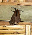 Noctuidae. Arctiidae.Arctiinae. (Spilarctia gopara^) - Flickr - gailhampshire.jpg