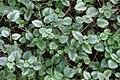 Noordwijk - Bonte gele dovenetel (Lamiastrum galeobdolon subsp. argentatum).jpg