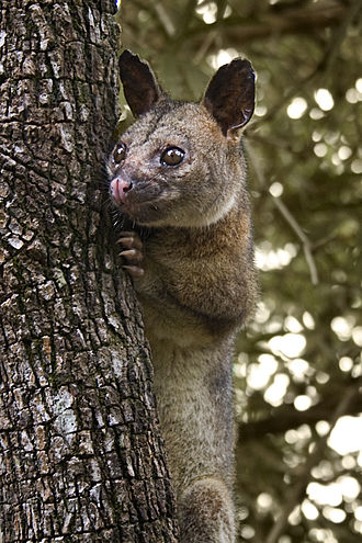 Brushtail possum - Image: Northen brushtail possum