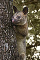 Northen brushtail possum.jpg