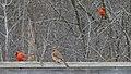 Northern Cardinals (Cardinalis cardinalis) - Cambridge, Ontario.jpg