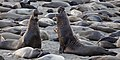 Northern Elephant Seals (M. angustirostris) at sunrise early light at Piedras Blancas, San Simeon, CA.jpg
