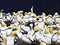 Northern Gannets on Bonaventure Island (île Bonaventure) 02.jpg