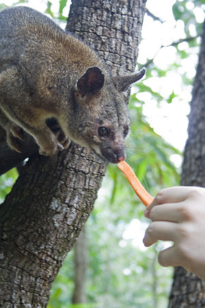Northern brushtail possum - Male Northern brushtail possum being hand fed a stick of carrot