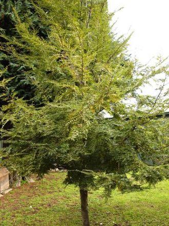 Nothofagus dombeyi - Young tree