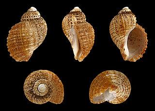 <i>Nucella squamosa</i> species of mollusc